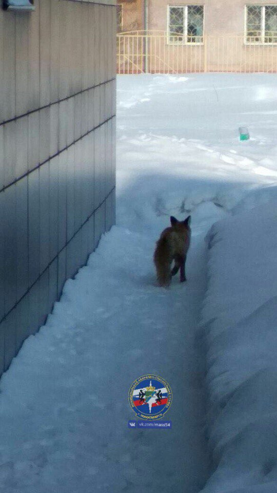 Спасатели МААС поймали лису в одном из дворов Новосибирска