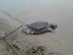 Мёртвую экзотическую черепаху нашли на берегу Оби в Новосибирске