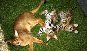 500 тысяч рублей за котёнка сервала просят на новосибирском «Авито»