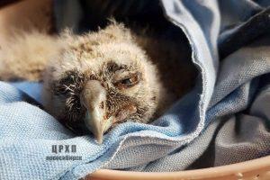 Волонтёры из Новосибирска нашли приёмную маму для ушастого совёнка Фили
