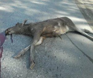 ДТП на трассе под Бердском: грузовик насмерть сбил молодого лося