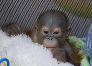 Малышу-орангутану в Новосибирском зоопарке заменяет маму мягкая игрушка
