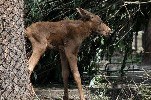 В новосибирском зоопарке сфотографировали новорожденного лосенка