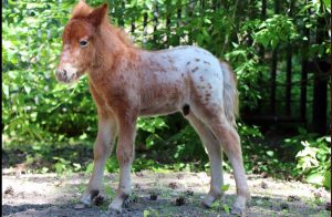 Крохотный жеребёнок Бубенчик вышел к посетителям новосибирского зоопарка