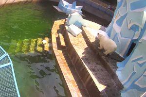 Медведица Герда в новосибирском зоопарке резко набрала вес