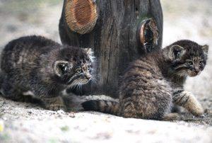 Домашняя кошка усыновила трех котят манула в Новосибирском зоопарке