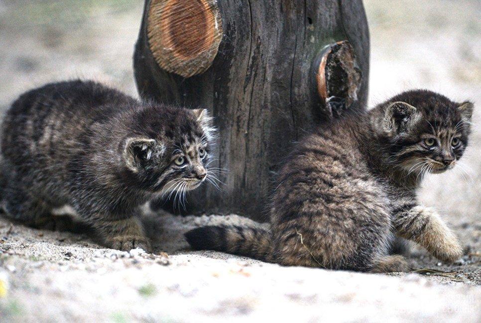 победе котята манула фото россия, как