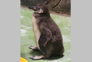 Пингвины-жадины из Новосибирском зоопарке отказались кормить пингвиненка