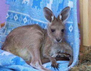 Новосибирский кенгурёнок Кнопа вернулся в семью