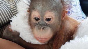 Детёныш борнейского орангутана Матику переехал в Московский зоопарк