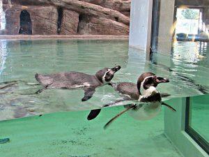 Пять пингвинов Гумбольдта приехали в Новосибирский зоопарк