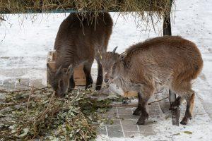 Гималайский тар впервые приехал в Новосибирский зоопарк