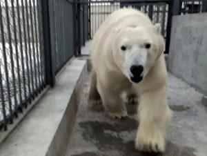 Медвежонок Ростик в Китае привыкает к местной еде