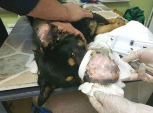 В Черепанове нашли собаку со скальпированными ранами
