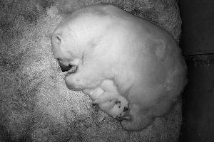 В Новосибирском зоопарке Герда родила двух белых медвежат