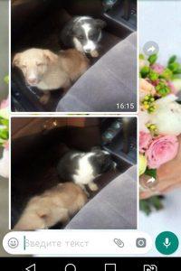 Двух маленьких щенков спасли новосибирцы от смерти в старом погребе