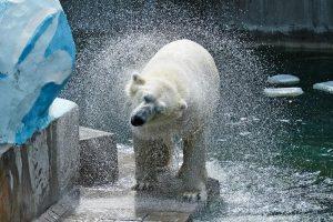 Белому мишке Каю наполнили бассейн водой
