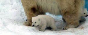 Белые медвежата из Новосибирского зоопарка вышли на свои первые прогулки