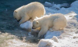Новосибирцы могут выбрать имена для белых медвежат