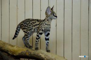 В Новосибирском зоопарке появится ушастый кот за 180 тысяч