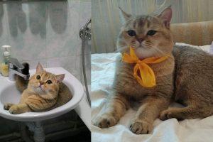 В Новосибирске пропал кот очень редкой дорогой породы
