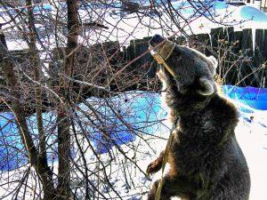 В Новосибирске спасают от расстрела цирковых медведей-вегетарианцев