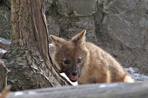 В зоопарке красный волк-отец не подпускал новосибирцев к клетке с волчатами
