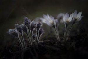 Новосибирские фотографы сняли сон-траву и подснежные тюльпаны
