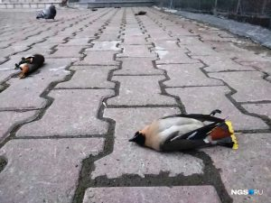 В центре Новосибирска заметили несколько мёртвых свиристелей
