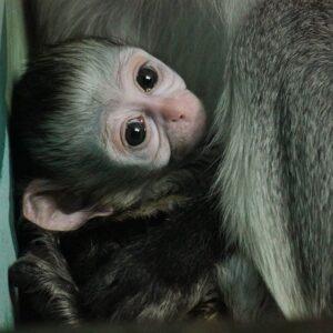 Маленькая зеленая мартышка родилась в Новосибирском зоопарке