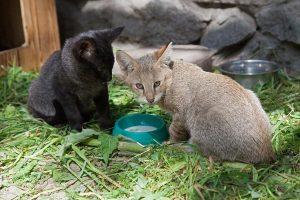 Черный и серый: два камышовых котенка родились в Новосибирском зоопарке