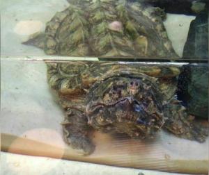 Огромную кусачую черепаху Матильду привезли в Океанариум