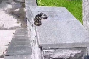 Змея перепугала жителей микрорайона «Дивногорский» в Новосибирске