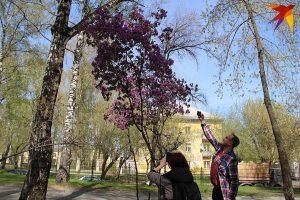 В Новосибирске зацвел маральник, который растет в горах