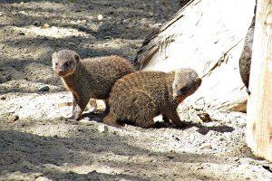 В Новосибирском зоопарке малыши-мангусты устроили обгоняшки