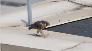 В Новосибирске на Шлюзе редкие соколы вывели четырёх птенцов