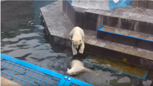 Белые медвежата в Новосибирском зоопарке устроили игры на день Ивана Купала