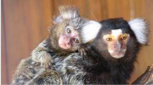 В Новосибирском зоопарке родились две обезьянки-игрунки