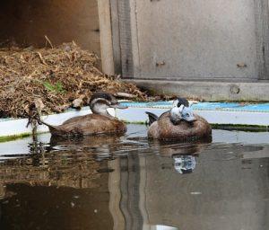 Зоологи выпустили на озеро Малое Банное исчезающий вид уток