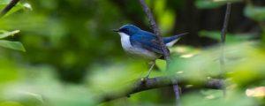 В Новосибирске засняли маленьких ярко-синих соловьев
