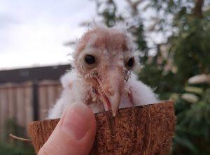 Девушка-волонтер из Новосибирска решила вырастить совёнка