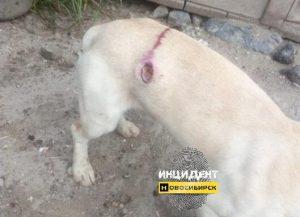 В Новосибирске местные жители стреляют в бродячих собак