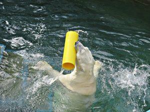 Японцы привезли желтую трубу белому медведю Каю
