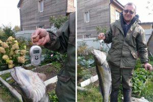 Рыбак поймал в Берди огромного судака