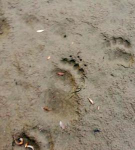 Медведи из горящей тайги добежали до Новосибирска