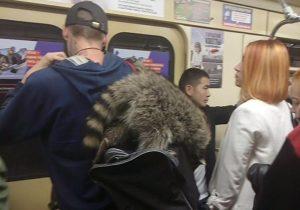 В Новосибирске енот проехался в метро