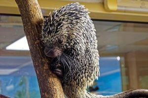 В Новосибирском зоопарке поселились дикобразы с цепким хвостом