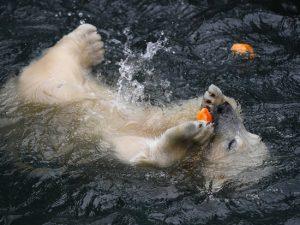 Хэллоуин в Новосибирском зоопарке: белых медведей накормили тыквами