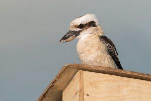 Смеющиеся птицы поселились в Новосибирском зоопарке