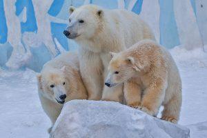 Белые медвежата из Новосибирского зоопарка празднуют день рождения